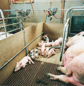 Incalzire ferme porci cu panouri radiante